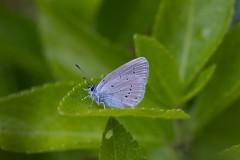 Cupido minimus - Small Blue, N Yorks