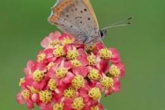 Lycaena phlaeas - Small Copper, Woodside Nurseries, Austerfield.
