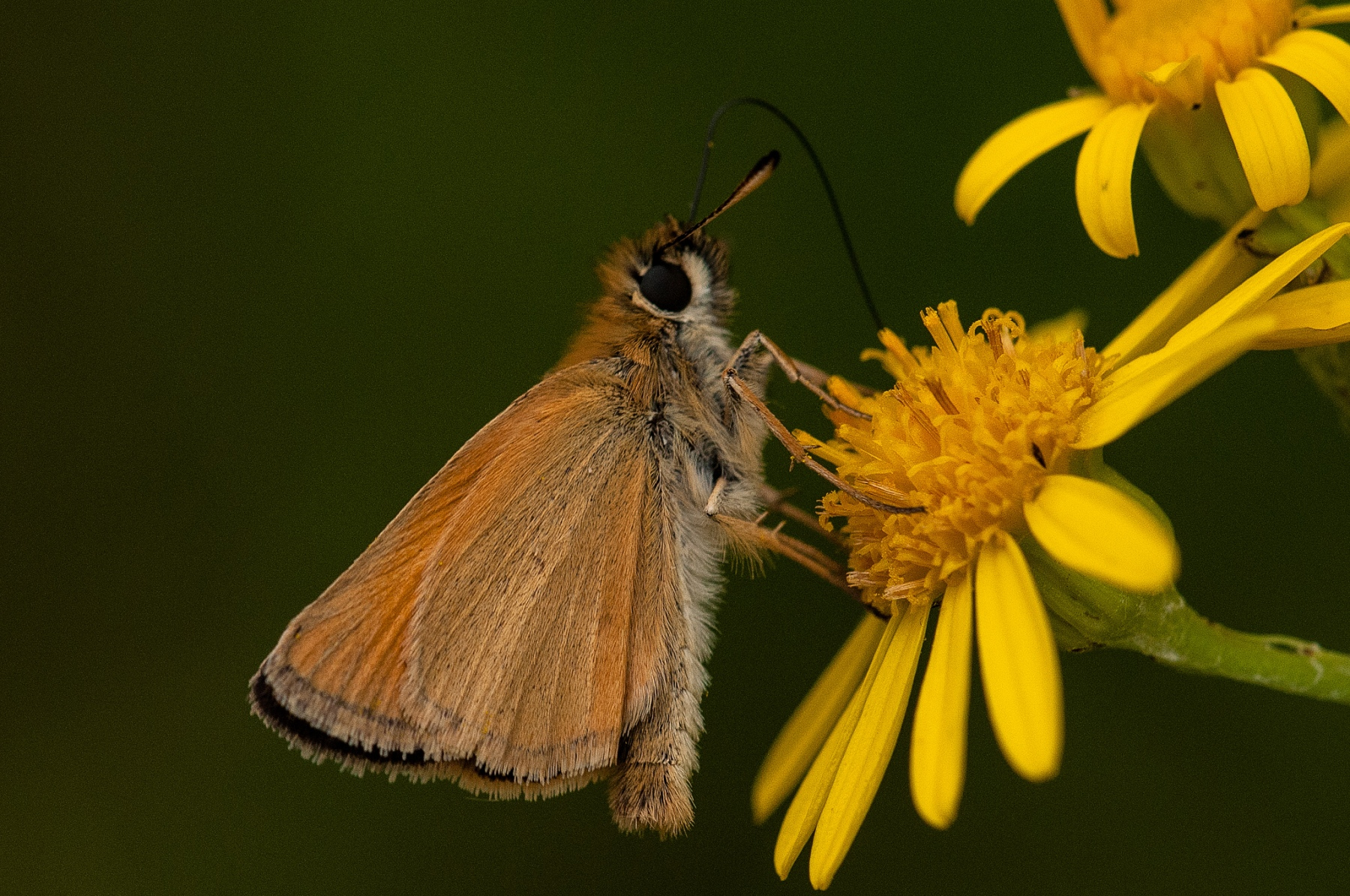 Thymelicus lineola - Essex Skipper