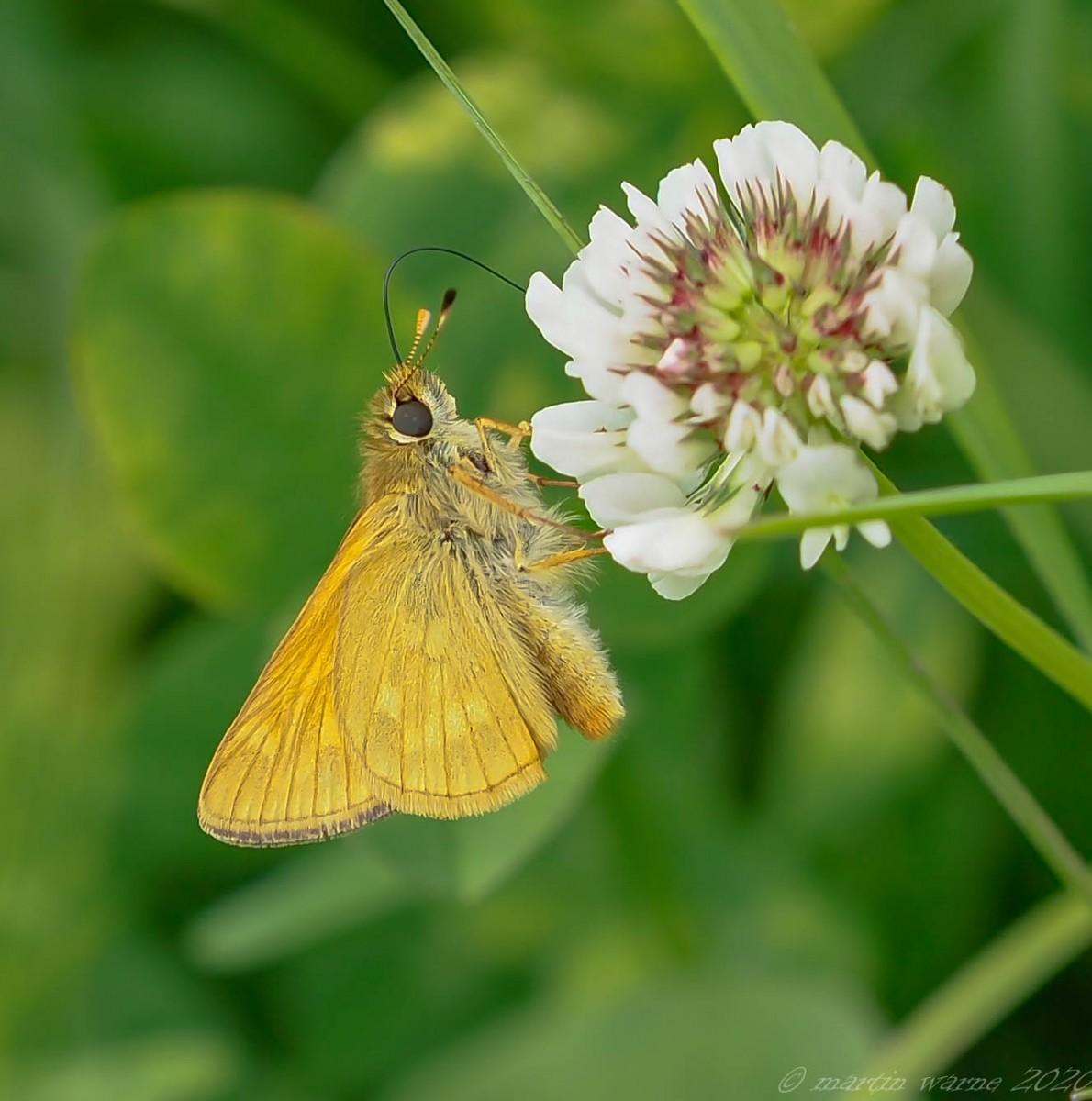 Ochlodes venata - Large Skipper, Thorne Moor