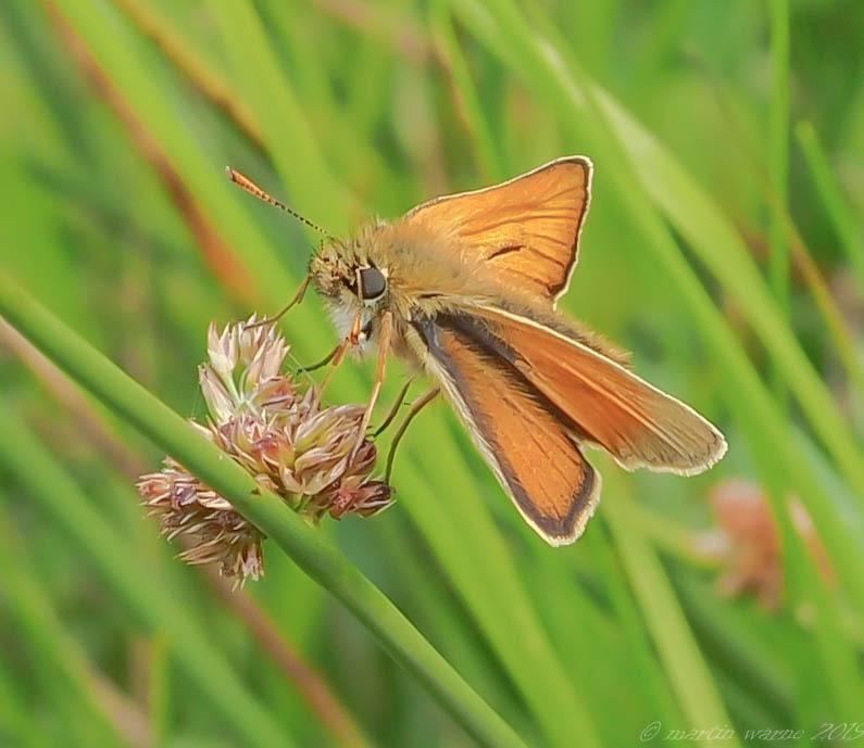 Thymelicus sylvestris - Small Skipper, Thorne Moor
