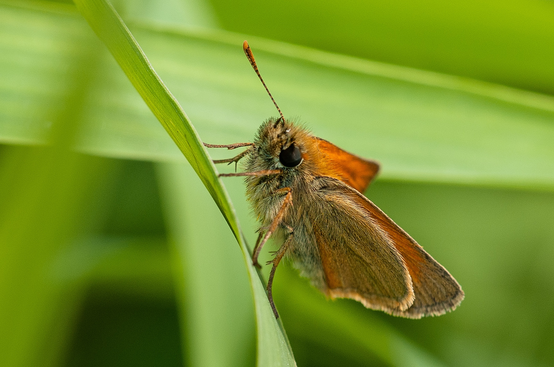 Thymelicus sylvestris - Small Skipper