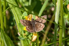 Erynnis tages - Dingy Skipper, Bevercotes Pit Wood