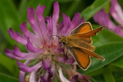 Thymelicus sylvestris - Small Skipper
