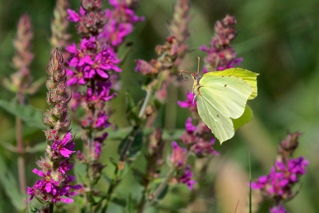 Gonepteryx rhamni - Brimstone, Woodside Nurseries, Austerfield.