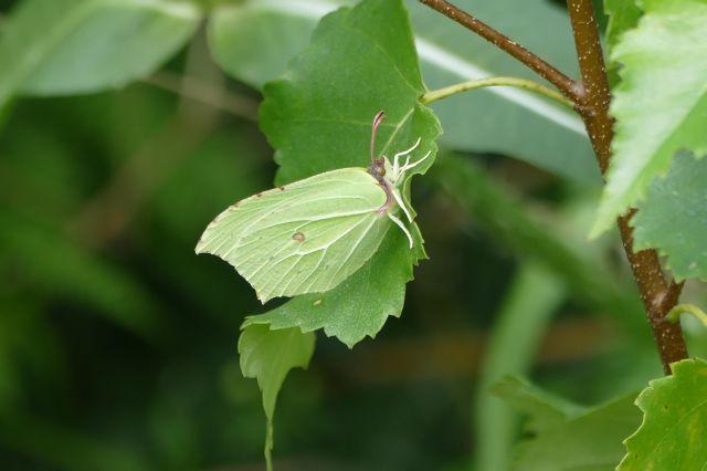 Brimstone - Gonepteryx rhamni, Thorne Moor