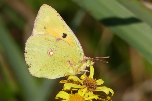 Colias croceus - Clouded Yellow, Thorne Moor