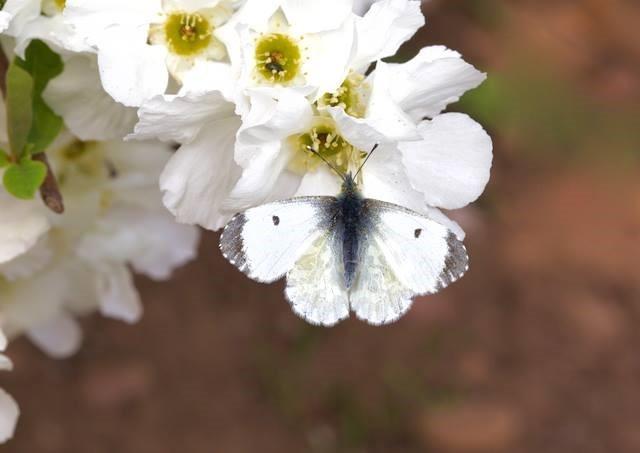 Anthocharis cardamines- Orange-tip (female), Woodside Nurseries, Austerfield.