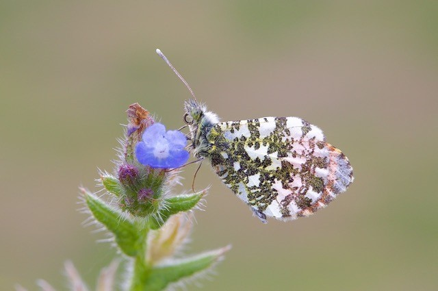 Anthocharis cardamines- Orange-tip (male), Woodside Nurseries, Austerfield.