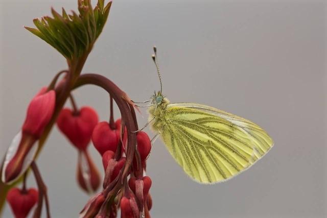Pieris napi, Green-veined White, Woodside Nurseries, Austerfiel