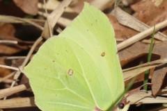 Gonepteryx rhamni - Brimstone, Brodsworth Wood