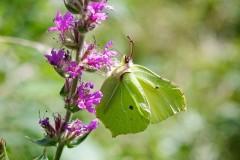 Gonepteryx rhamni - Brimstone, Woodside Nurseries, Austerfield.
