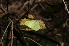 Gonepteryx rhamni - Brimstone,