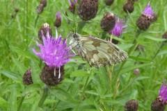 Melanargia galathera - Marbled White