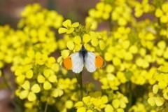 Anthocharis cardamines- Orange-tip (male), Woodside Nurseries, Austerfield.