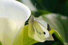Pieris brassicae, Large White, Woodside Nurseries, Austerfield.