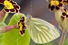 Pieris napi, Green-veined White, Woodside Nurseries, Austerfie