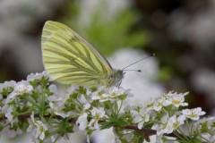 Pieris napi, Green-veined White, Woodside Nurseries, Austerfield.