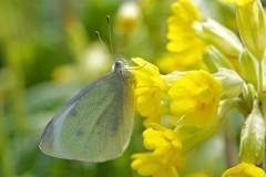 Pieris rapae, Small White, Woodside Nurseries, Austerfield.