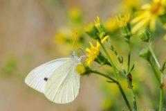 Pieris rapae - Small White, Thorne Moor