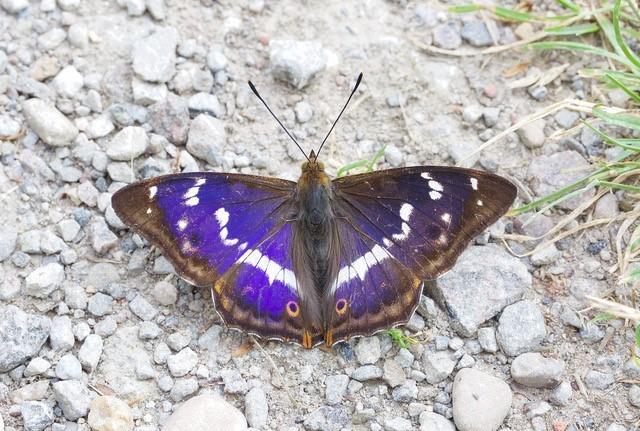 Apatura iris, Purple Emperor, male, Chamber's Farm Wood, Lincs.