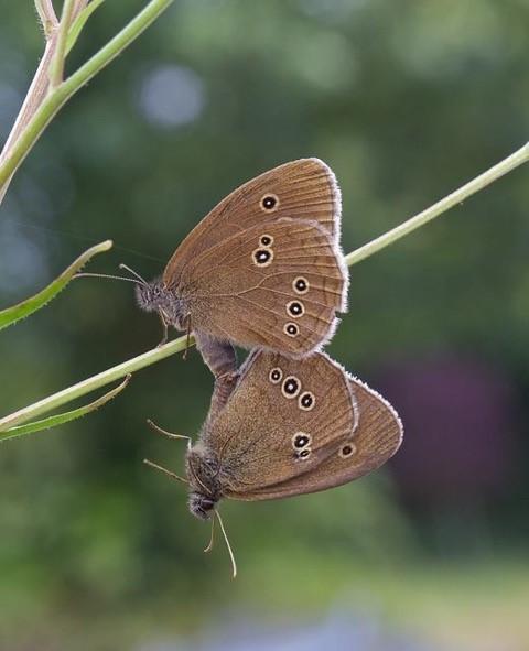 Aphantopus hyperantus _ Ringlet, (mating pair), Woodside Nurseries, Austerfield.