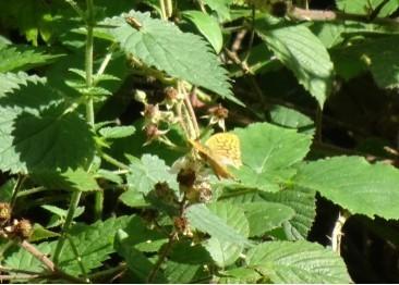 Argynnis paphia - Silver-washed Fritillary, Melton Wood
