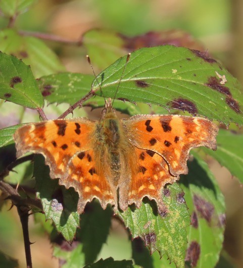 Polygonia c-album - Comma, Brodswoth Wood