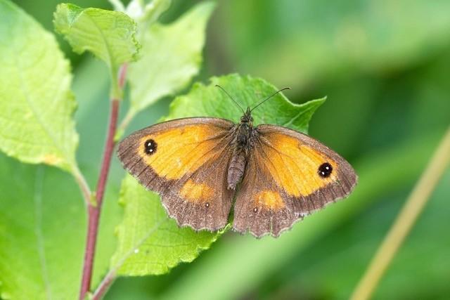 Pyronia tithonus, Gatekeeper, female, Woodside Nurseries, Austerfield.