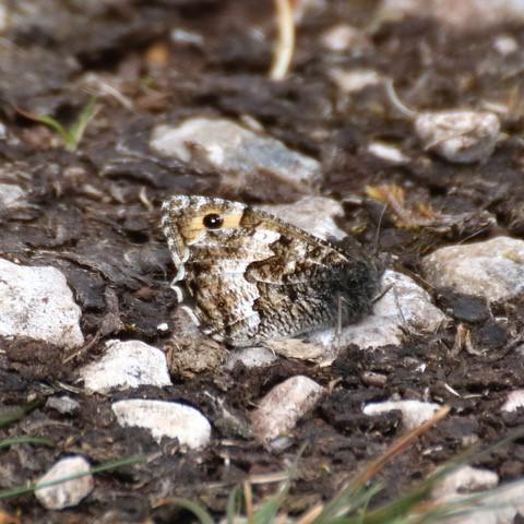 Hipparchia semele - Grayling, Arnside Knott
