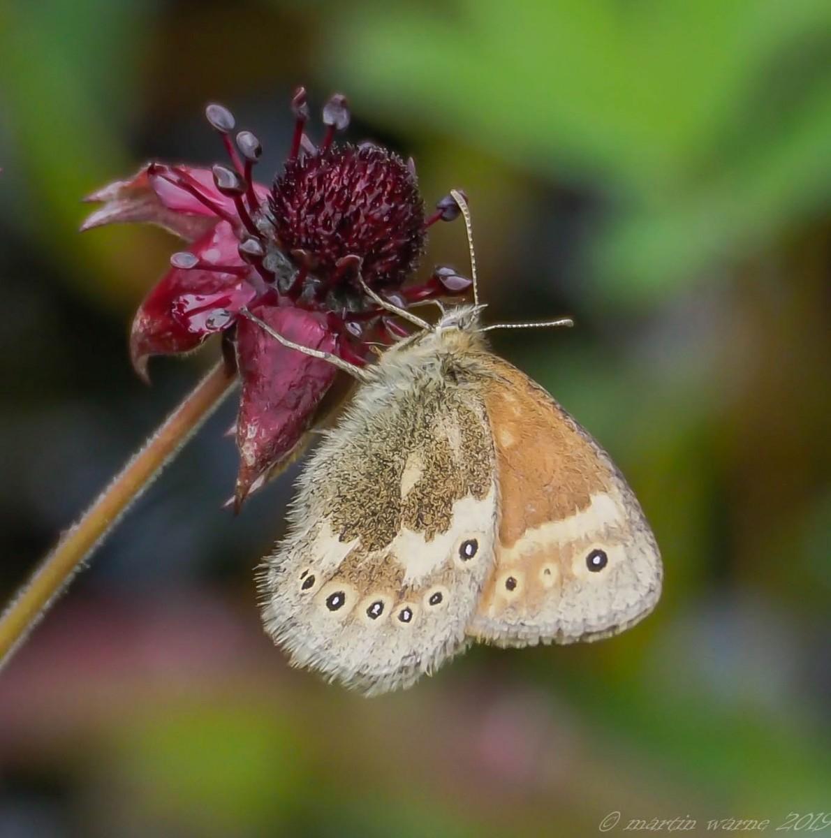 Coenonympha tullia - Large Heath, Thorne Moor