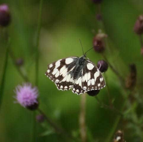 Melanargia galathea - Marbled White, Brokadale