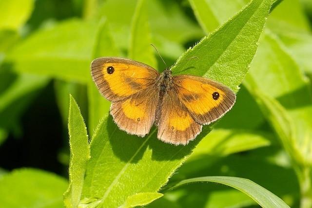 Pyronia tithonus, Gatekeeper, male, Woodside Nurseries, Austerfield.