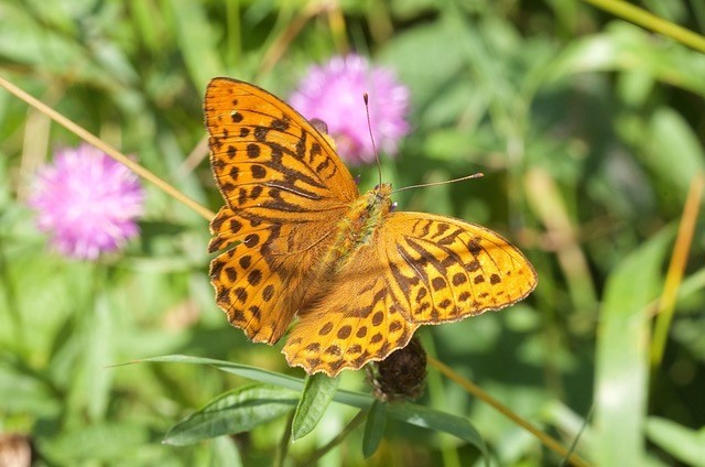 Argynnis paphia - Silver-washed Fritillary, Chambers Farm Wood, Lincs.