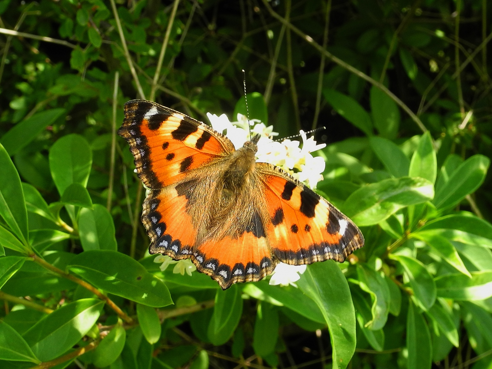 Aglais urticae - Small Tortoiseshell, Laughton Wood