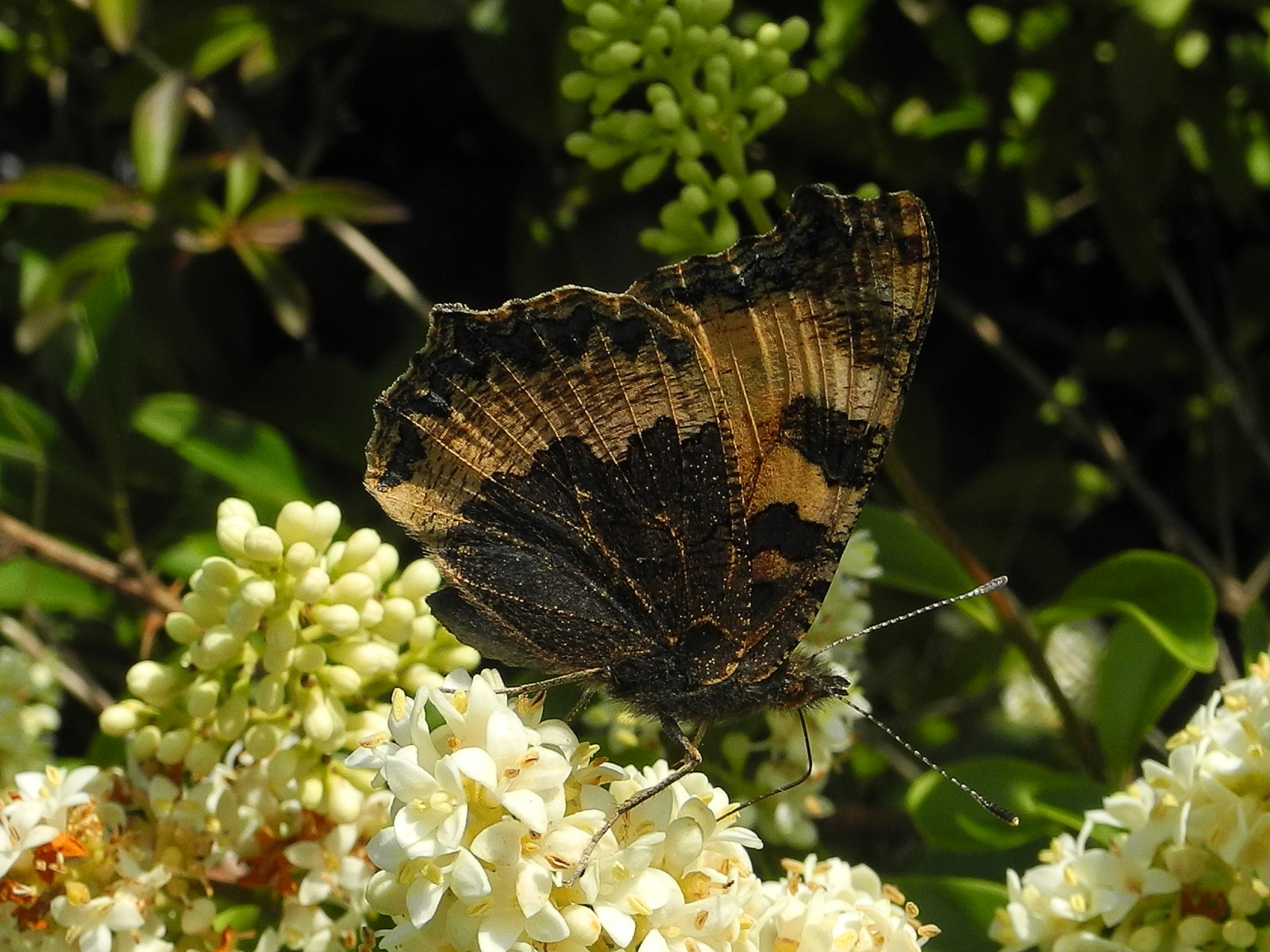 Aglais urticae - Small Tortoiseshell, Laughton Wood