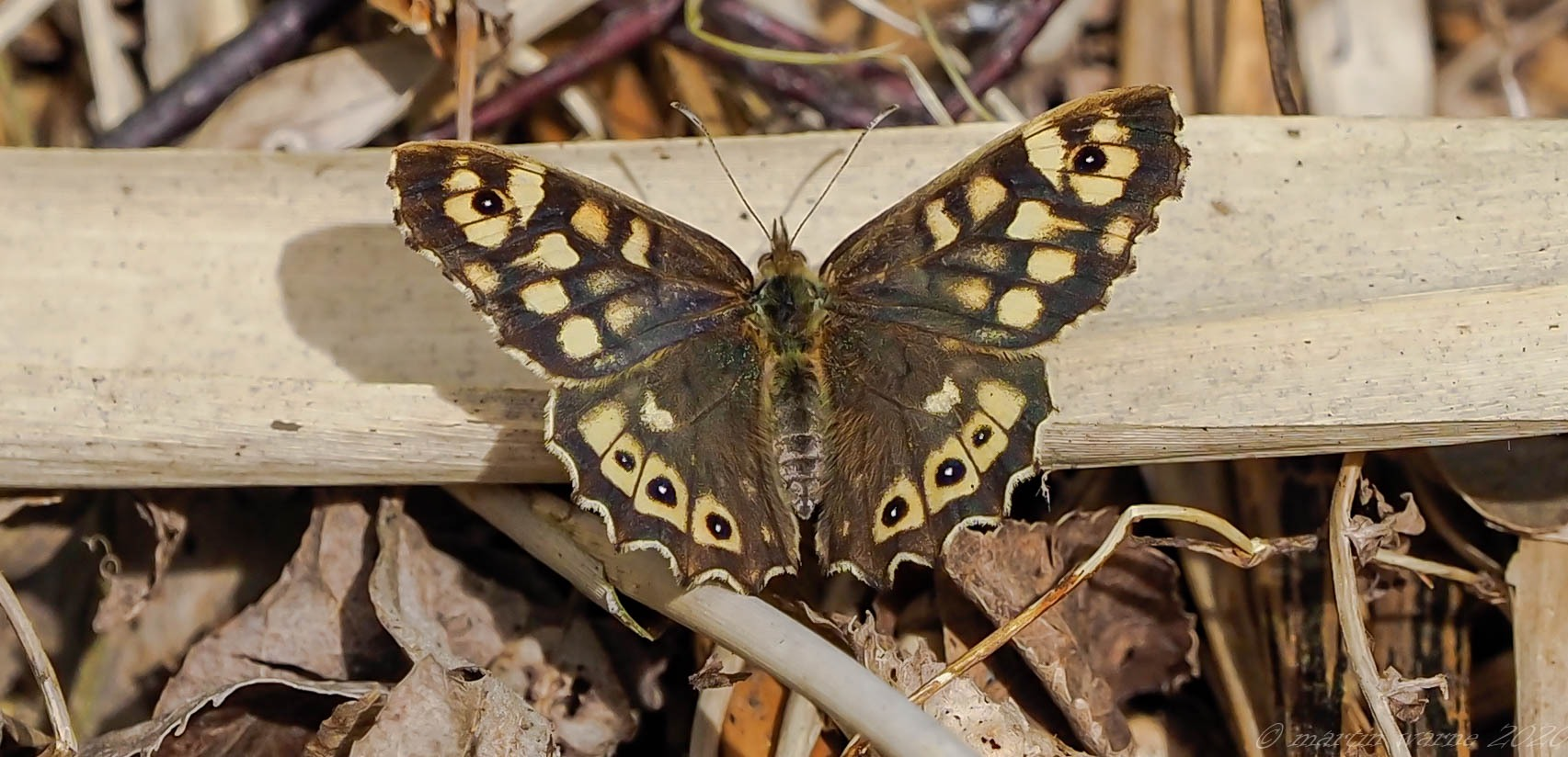 Pararge aegeria - Speckled Wood, Thorne Moore