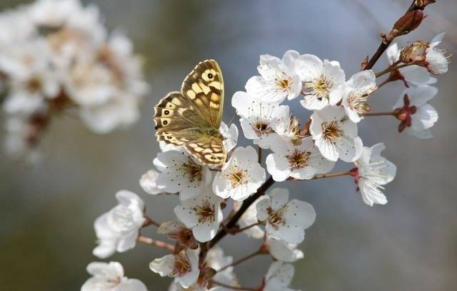 Pararge aegeria - Speckled Wood, Woodside Nurseries, Austerfield.