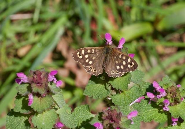 Pararge aegeria - Speckled Wood, Woodside Nurseries, Austerfield.