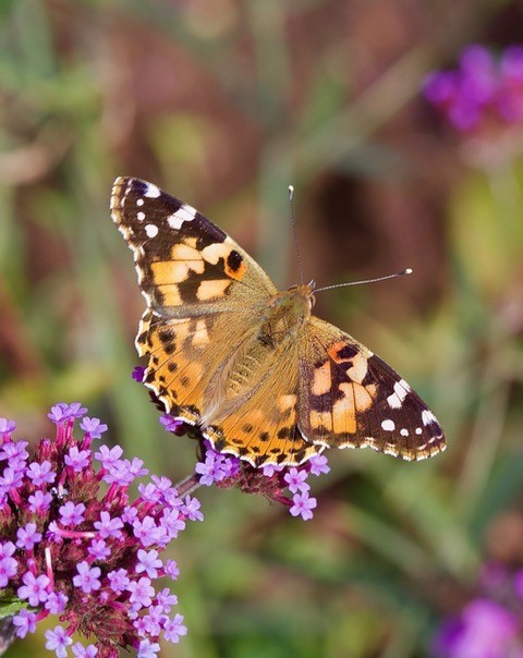 Vanessa cardui, Painted Lady, Woodside Nurseries, Austerfield.