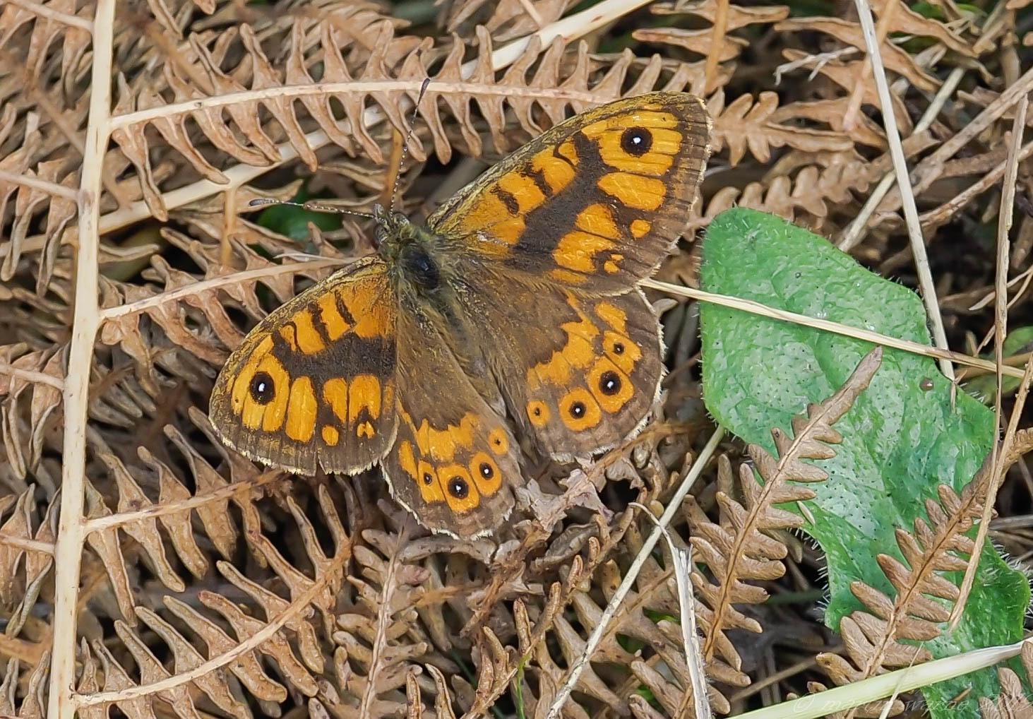 Lasiommata megera - Wall, Thorne Moor