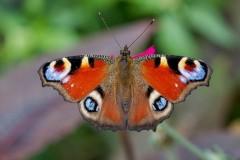Aglais io, Peacock, Woodside Nurseries, Austerfield.