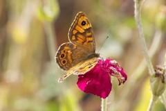 Lasiommata megera, Wall, Woodside Nurseries, Austerfield.