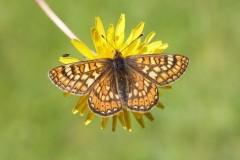 Euphydryas aurinia - Marsh Fritillary, Chambers Farm Wood, Lincs.
