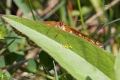 Euphydryas aurinia - Marsh Fritillary, (female with eggs), Chambers Farm Wood, Lincs.