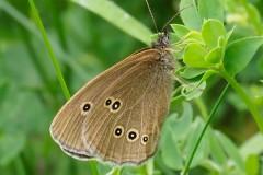 Aphantopus hyperantus - Ringlet, Thorne Moor