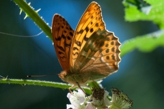 Argynnis paphia - Silver-washed Fritillary, Whitwell Wood