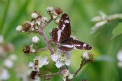 Limenitis camilla - White Admiral, Chambers Farm Wood, Lincs.