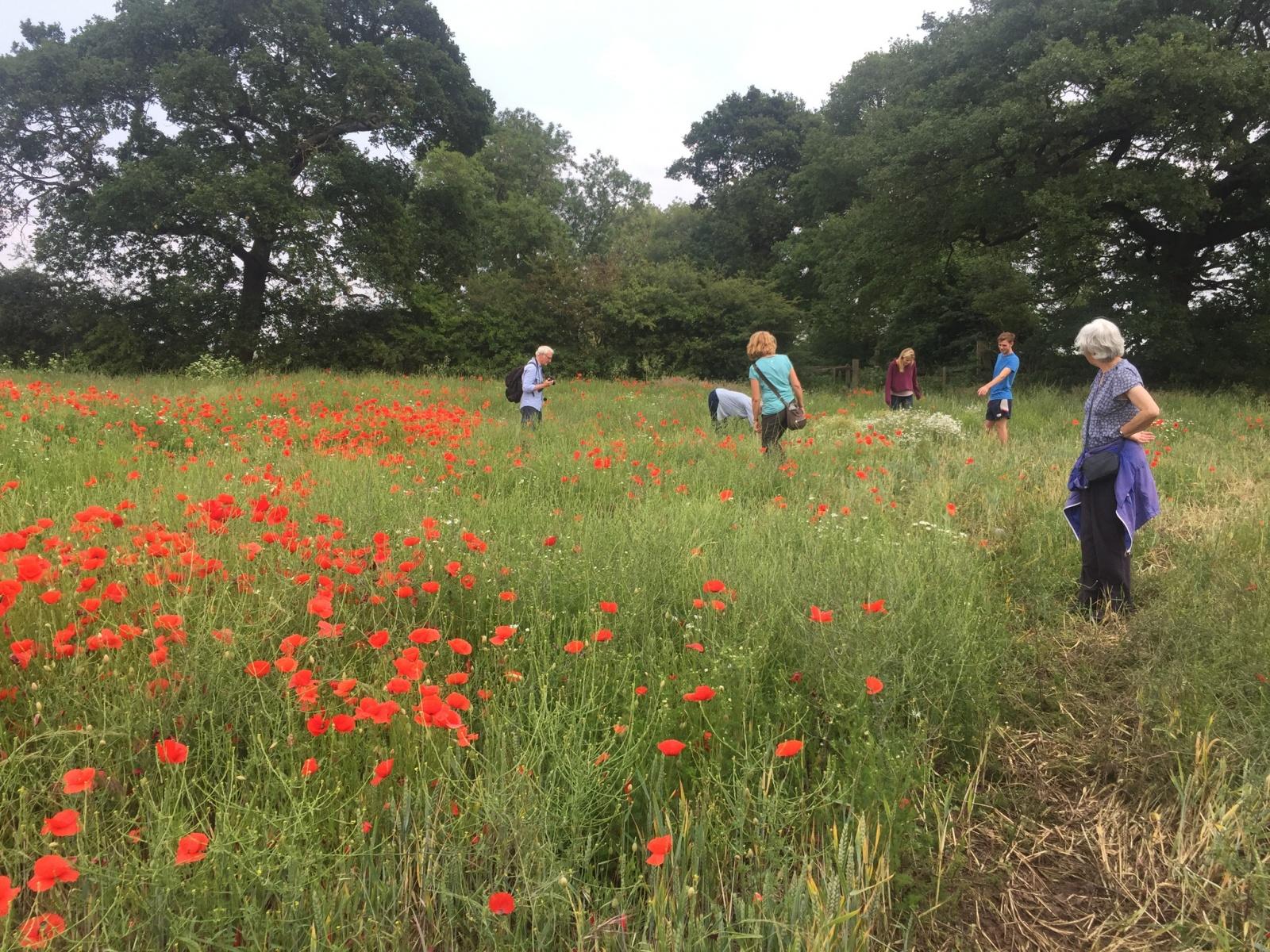Poppies in set-aside field on farm