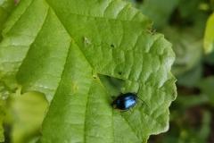 Alder Beetle